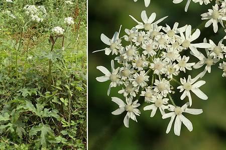 Les Plantes sauvages comestibles et médicinales Heracleum_sphondylium_nmk_30