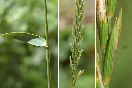 Elymus repens - Wikipedia